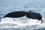 whale-tail