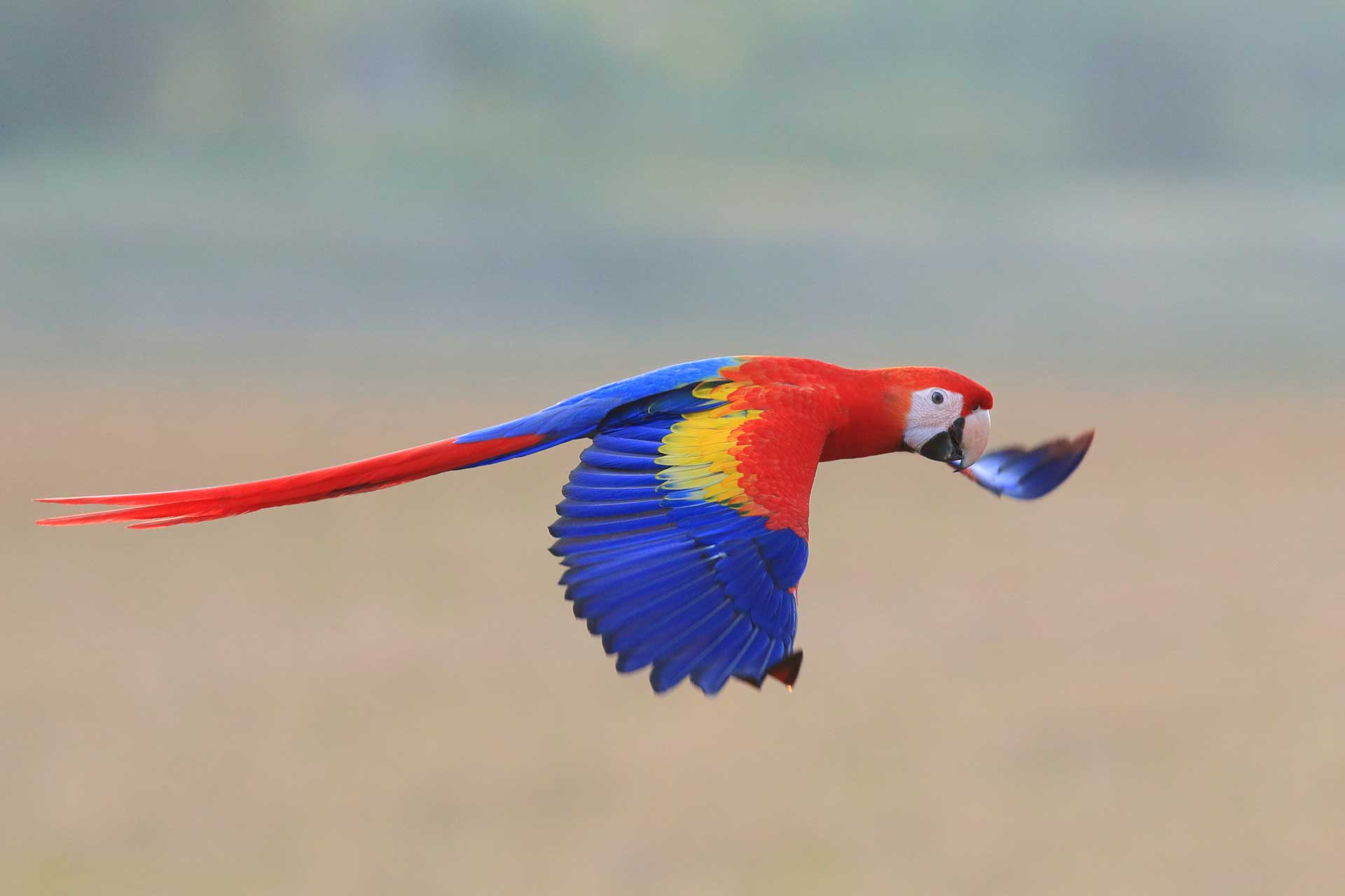 osa-macaw